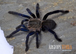 Haplopelma lividum - adult female ♀