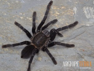 Cyriopagopus sp. BIG BLACK L1