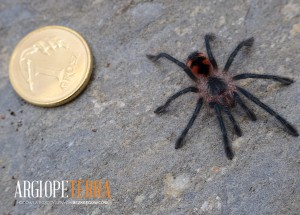 Pamphobeteus sp. mascara (2,5cm) (1)