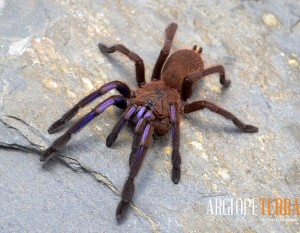 Chilobrachys sp. electric blue L1
